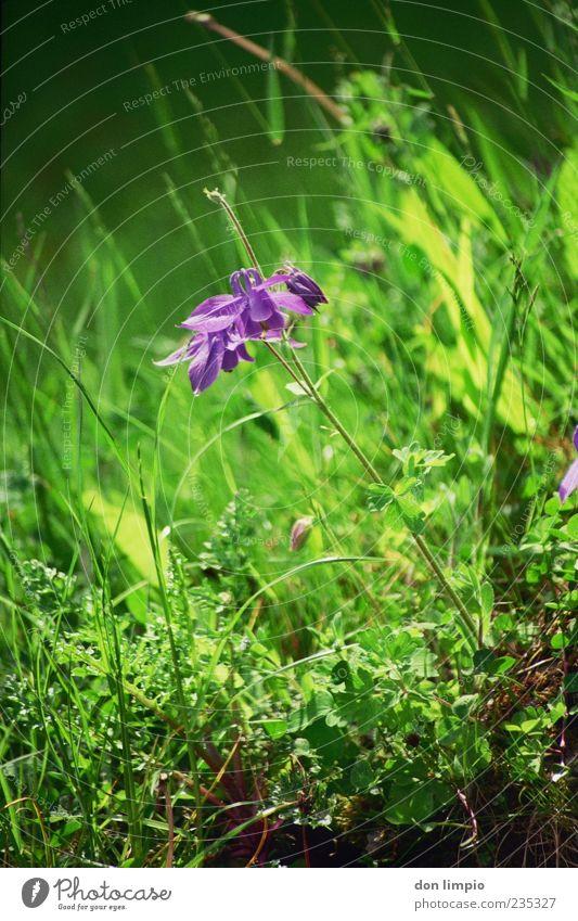 orchidee Natur grün Pflanze Sommer Wiese Blüte Gras Frühling Stimmung Wachstum violett analog Blühend Duft exotisch Wildpflanze