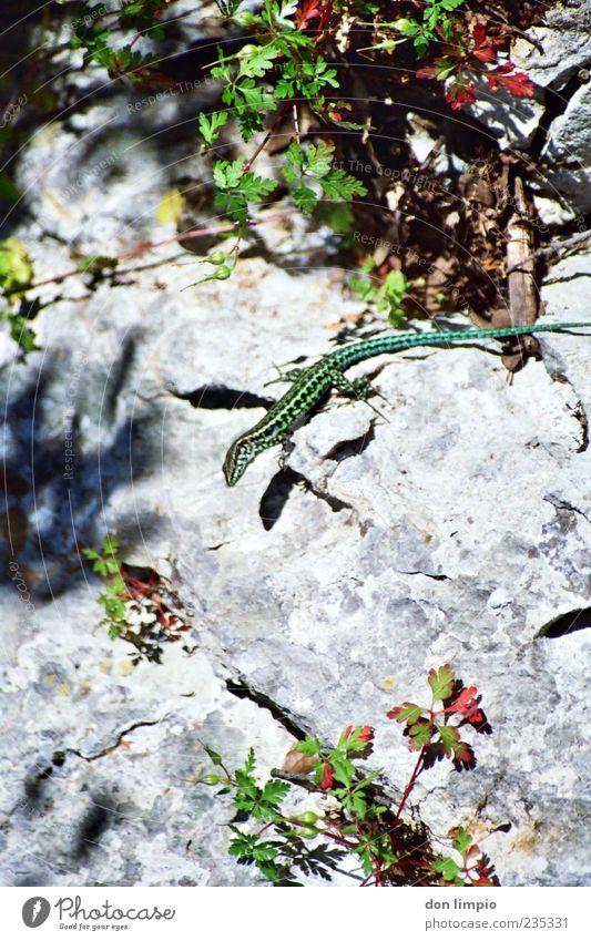 lizard Natur Sommer Sträucher Tier Wildtier 1 krabbeln elegant klein wild grün Echsen Reptil Zauneidechse Tarnung analog Farbfoto Außenaufnahme Nahaufnahme Tag