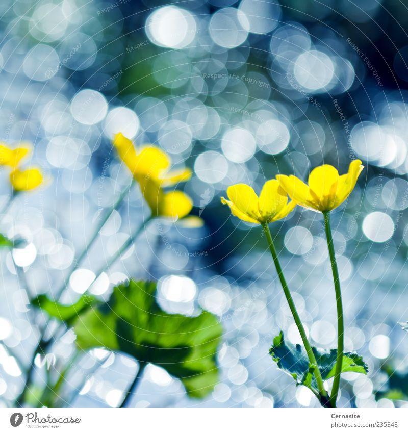 Tanz der gelben Blumen und Bokeh Natur Wasser Sonnenlicht Frühling Pflanze Blatt Wiese Feld Insel ästhetisch authentisch Duft nah nass natürlich neu