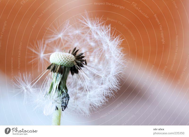 Haarausfall Pflanze schön weiß Blume ruhig Gefühle Blühend Wandel & Veränderung Vergänglichkeit zart Löwenzahn Leichtigkeit Samen sanft leicht Pollen