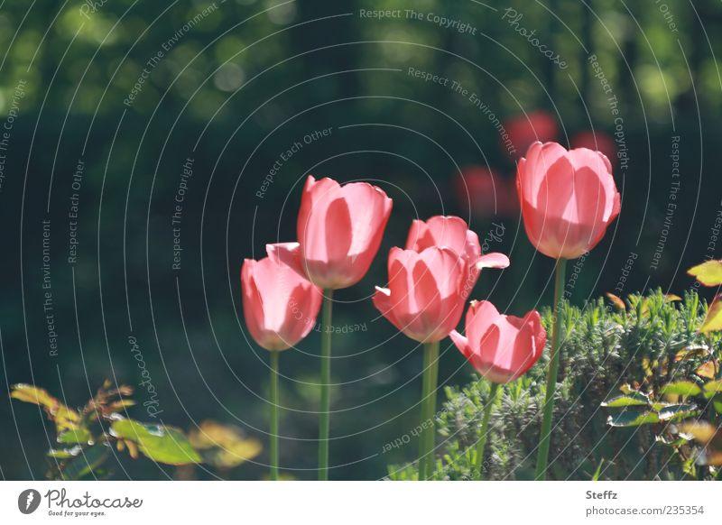 Sonnentulpen Natur Pflanze Sonnenlicht Frühling Schönes Wetter Blume Tulpe Blüte Blütenblatt Garten Blühend leuchten natürlich grün rosa Frühlingsgefühle Licht