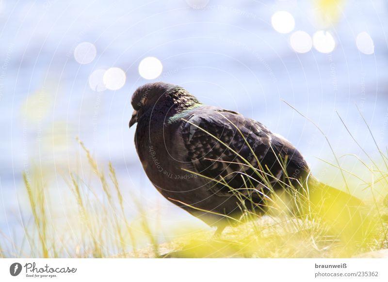 Fernweh Tier Vogel Taube 1 geduldig ruhig Natur Umwelt Wasser Gras Feder Kopf hell Farbfoto Außenaufnahme Nahaufnahme Tag Licht Sonnenlicht Totale Tierporträt