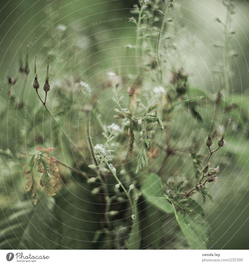 Verblüht alt grün Pflanze Blume Blatt Blüte Gras Vergänglichkeit trocken ökologisch vertrocknet Vergißmeinnicht