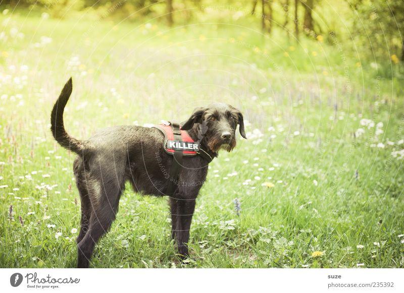 Killer Natur Sommer Schönes Wetter Garten Wiese Tier Haustier Hund 1 stehen warten lustig niedlich grün schwarz Terrier Mischling Treue Schnauze Wiesenblume