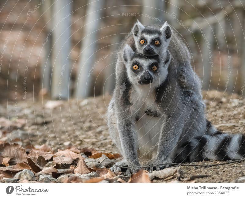 Stechender Blick im Doppelpack Natur weiß Sonne Baum Tier Blatt Wald Tierjunges Auge grau orange leuchten Tierpaar glänzend Wildtier Schönes Wetter