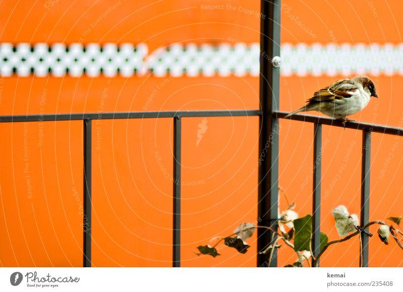 Ungerade Anzahl an Personen u.ä. Pflanze Tier Metall orange Vogel Wildtier sitzen maskulin Flügel einzeln Geländer Balkon Efeu Ranke Spatz