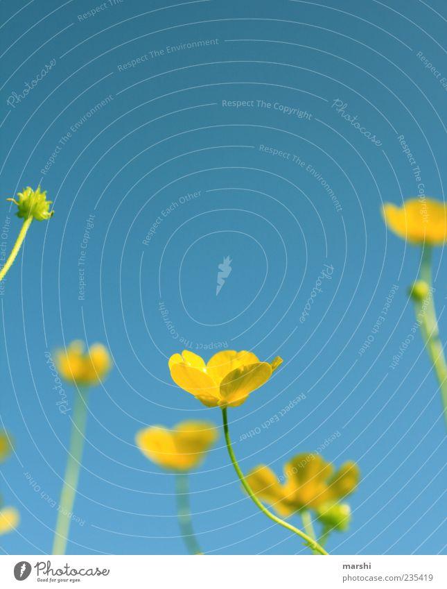 der Sonne nach Natur Landschaft Pflanze Frühling Sommer Blume Gras Blatt Blüte Wildpflanze blau gelb Himmel Froschperspektive Textfreiraum oben