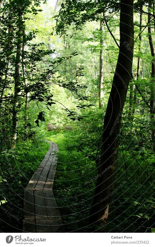 Auf dem Holzweg Umwelt Natur Pflanze Baum Sträucher Wald dünn nass Brücke Wege & Pfade Sumpf ruhig grün Naturschutzgebiet Moor Frühling Sommer Farbfoto