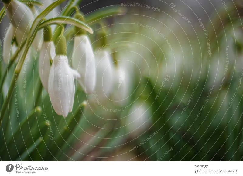 Schneeglöckchenspiel Umwelt Natur Landschaft Pflanze Tier Frühling Herbst Blatt Blüte Wildpflanze Garten Park Wiese Blühend Farbfoto Gedeckte Farben mehrfarbig