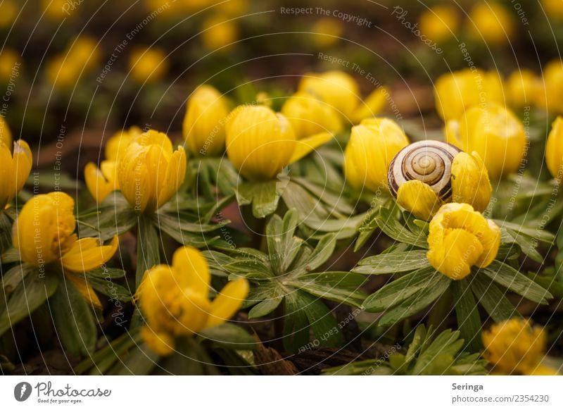 Winterlinge mit Schneckenhaus Umwelt Natur Landschaft Pflanze Tier Frühling Blatt Blüte Grünpflanze Wildpflanze Garten Park Wiese Wald Blühend Farbfoto