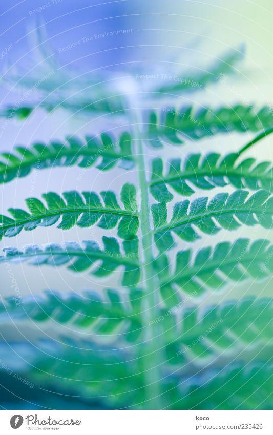 Farn in grün-blau Natur Pflanze Blatt Grünpflanze Wachstum ästhetisch außergewöhnlich positiv Farbfoto Nahaufnahme Detailaufnahme Makroaufnahme Morgen Tag