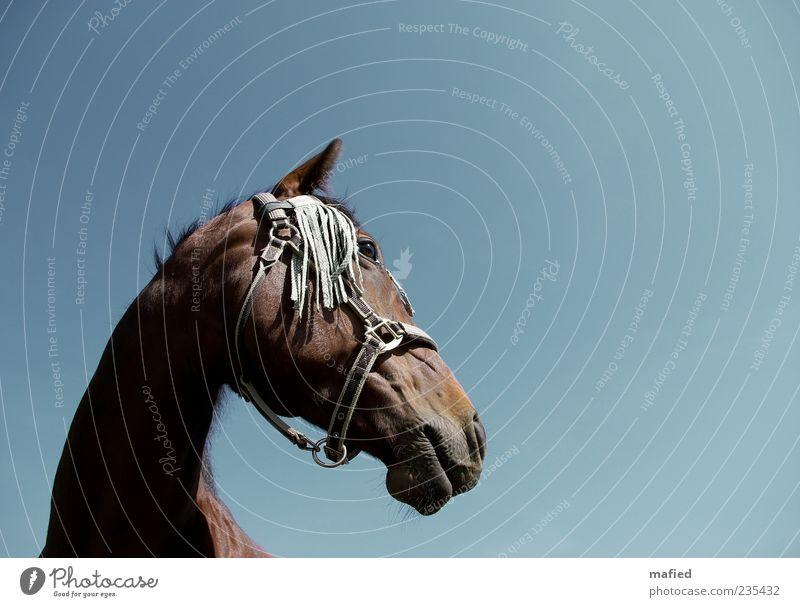 Du edles Ross Reitsport Sportveranstaltung Schönes Wetter Tier Pferd Tiergesicht 1 ästhetisch stark blau braun selbstbewußt Kraft Willensstärke Tierliebe