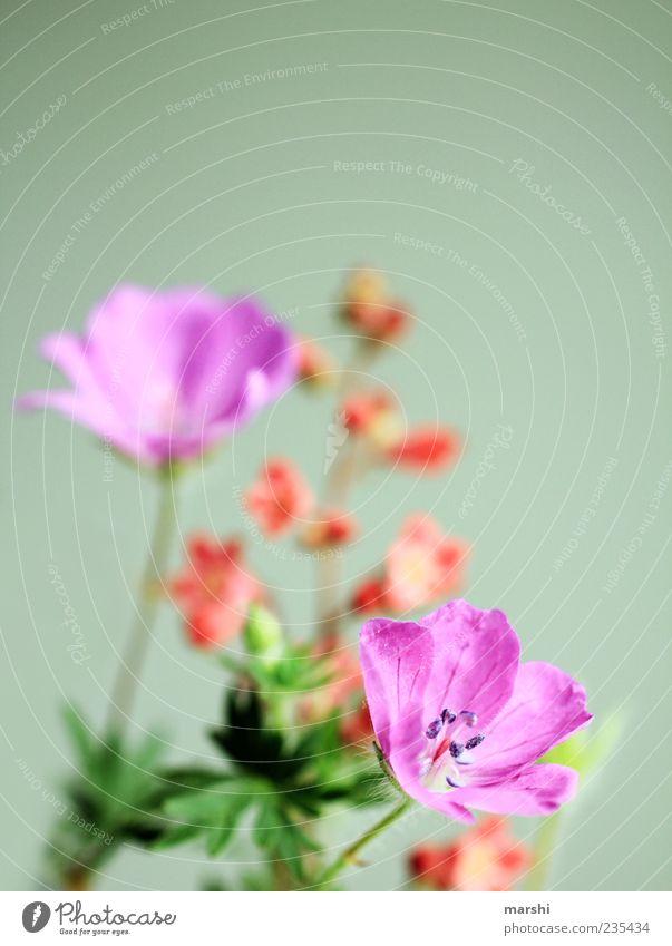 Blümchenvorliebe Natur Frühling Sommer Pflanze Blume Blatt Blüte Grünpflanze Wildpflanze mehrfarbig grün violett Frühlingsgefühle Farbfoto Nahaufnahme