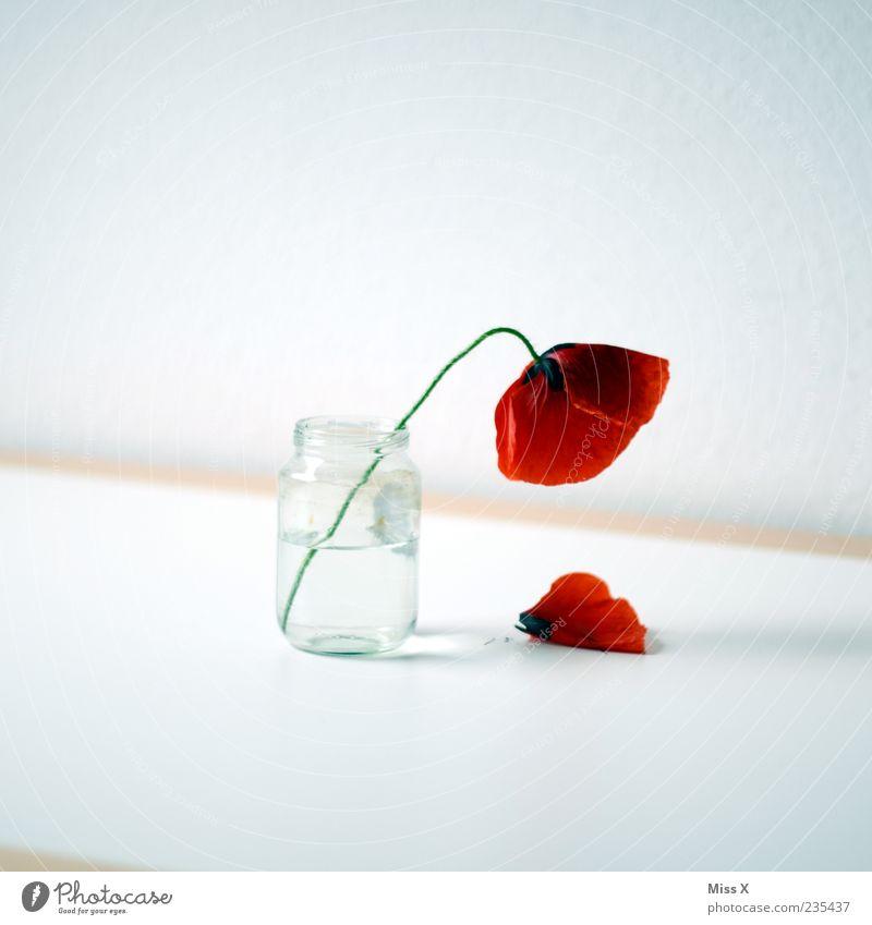 Mohnblume weiß rot Sommer Blume Blatt Frühling Blüte Traurigkeit Glas Tisch Dekoration & Verzierung Vergänglichkeit einfach fallen Blühend