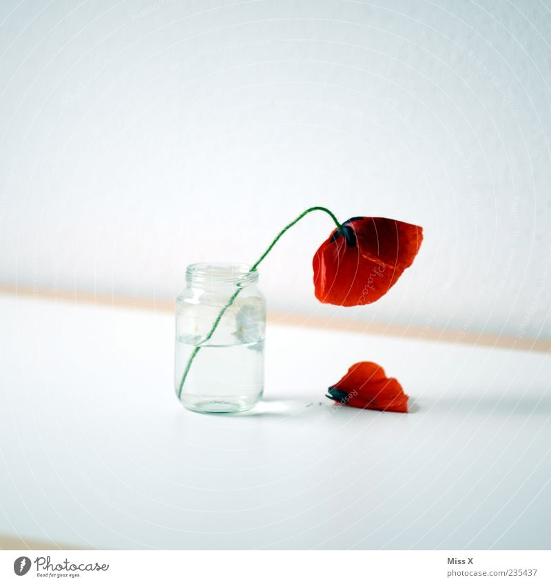 Mohnblume weiß rot Sommer Blume Blatt Frühling Blüte Traurigkeit Glas Tisch Dekoration & Verzierung Vergänglichkeit einfach fallen Blühend Mohn