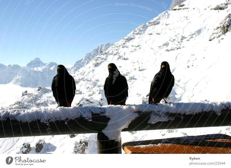 drei Raben weiß Sonne blau Winter schwarz Wolken kalt Schnee Berge u. Gebirge Vogel Aussicht