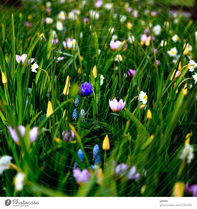 Düster Natur Frühling Blume schön blau gelb grün violett rosa weiß Tulpe Gelbe Narzisse Farbfoto mehrfarbig Außenaufnahme Menschenleer Tag Schatten Kontrast