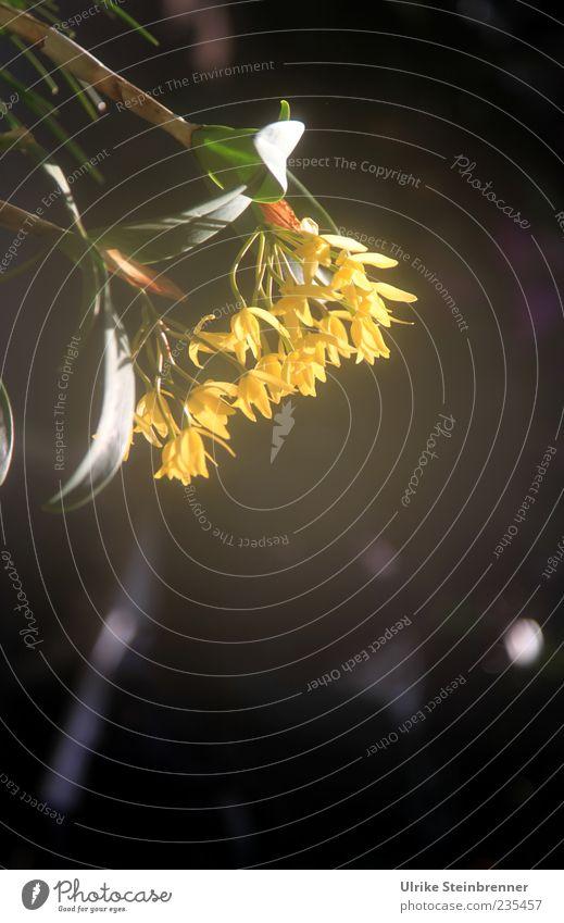 Orchideenzauber Pflanze Frühling Blüte exotisch Blühend Duft hängen Wachstum ästhetisch schön gelb ruhig einzigartig Orchideenblüte tropisch Farbfoto mehrfarbig
