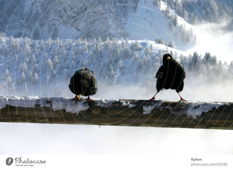 zwei Raben weiß Sonne blau Winter schwarz Wolken kalt Schnee Berge u. Gebirge Vogel Aussicht