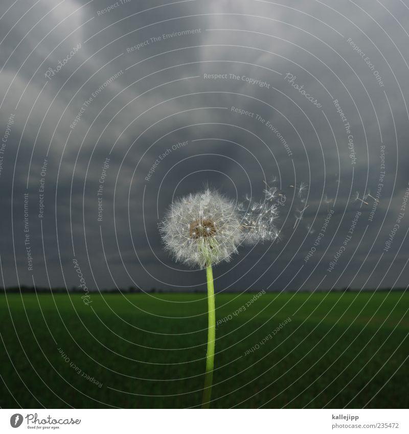 blümchensex Himmel Natur Pflanze Wolken Umwelt Landschaft dunkel Feld fliegen Wissenschaften Wachstum Löwenzahn leicht Leichtigkeit Samen Botanik