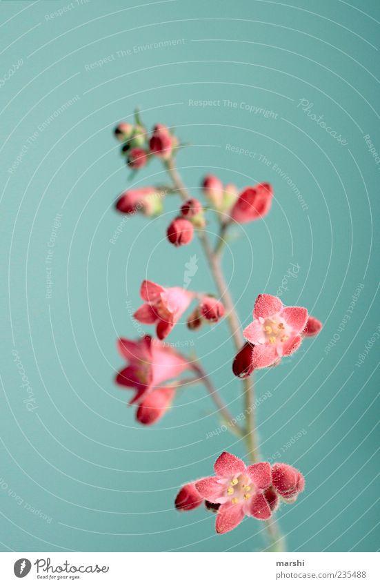 klein aber fein Natur Pflanze Frühling Sommer Blume Blüte blau rot Blühend Hintergrundbild Hintergrund neutral schön Botanik Farbfoto Innenaufnahme Menschenleer