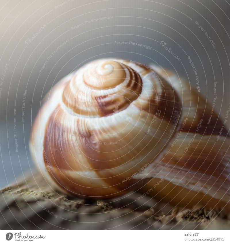 Naturarchitektur Tier Schnecke Schneckenhaus 1 ästhetisch Schutz Symmetrie Spirale Strukturen & Formen gedreht Haus Farbfoto Außenaufnahme Makroaufnahme Muster