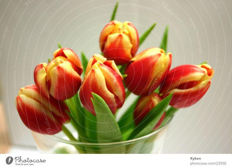 Tulpen dann nah rot Blume gelb Frühling Blüte Glas