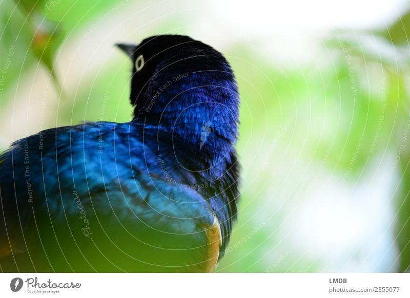 Der STAR im Tropenhaus II Natur Tier Wildtier Vogel 1 blau gefiedert Star Frühling glänzend schimmern Blatt Tierporträt beobachten verstecken Farbfoto