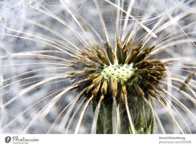 Plätze frei Natur Pflanze Blume Wildpflanze weiß Löwenzahn Samenpflanze Makroaufnahme Wachstum gekrümmt gruppiert Farbfoto Nahaufnahme Detailaufnahme