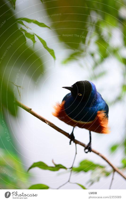 Der STAR im Tropenhaus III Tier Wildtier Vogel 1 blau braun grün orange frech Star Singvögel sitzen Franse Schnabel Blatt verstecken warten Frühling tropisch
