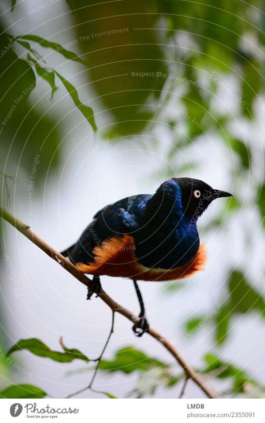 Der STAR im Tropenhaus IV blau grün Tier Frühling braun Vogel orange glänzend Wildtier beobachten Ast exotisch verstecken Nervosität tropisch Singvögel
