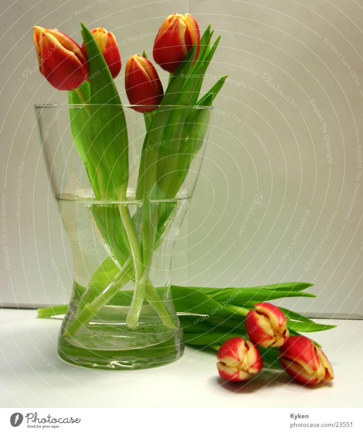 Tulpen grün Farbe Wasser rot Blume Blatt gelb Frühling Blüte Glas Vase