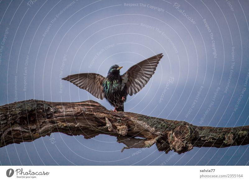 Tanz in den Frühling Natur Himmel Baum Ast Tier Vogel Flügel Star Ornithologie 1 genießen Kommunizieren glänzend blau Frühlingsgefühle elegant Glück Hoffnung