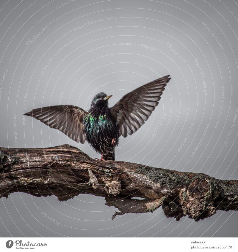 Brautwerbung Natur Frühling Baum Tier Vogel Flügel Star Ornithologie 1 Kommunizieren Sport glänzend schön braun grau grün Frühlingsgefühle elegant Lebensfreude