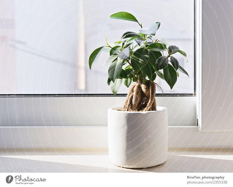 Töpfchen Ficus Bonsai Topf Lifestyle Design Garten Dekoration & Verzierung Gartenarbeit Büro Erwachsene Pflanze Baum Blume Blatt natürlich grün weiß Qualität