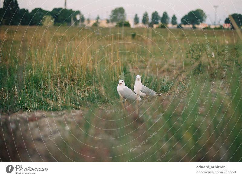 Orgsa Natur Tier Ferne Wiese Gras Vogel Wildtier schreien Möwe Halm gefiedert