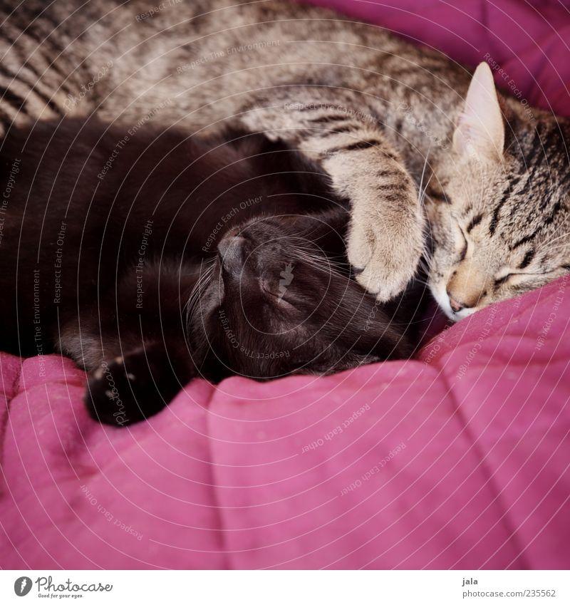 schmuser Tier Haustier Katze Tiergesicht Pfote 2 Liebe liegen schlafen Glück Zufriedenheit Geborgenheit Einigkeit Tierliebe Treue Kuscheln Farbfoto