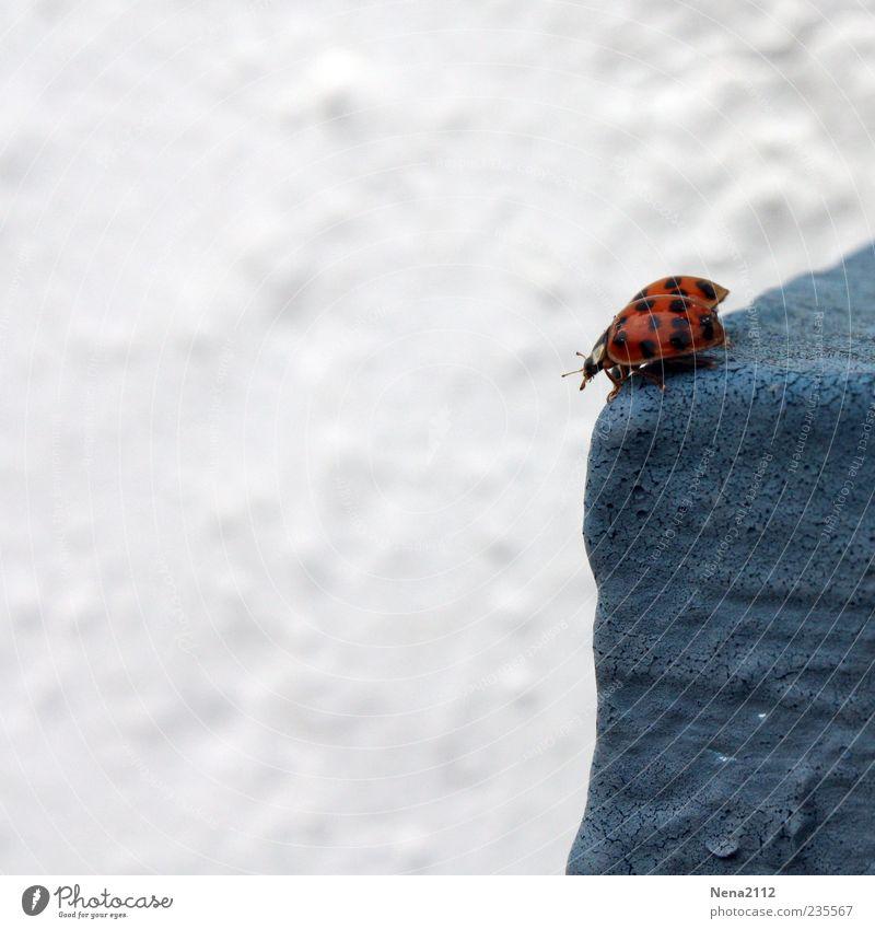 Höhenangst? Tier Käfer 2 blau rot weiß Glück Marienkäfer Insekt Fühler Mauer Farbfoto Außenaufnahme Nahaufnahme Menschenleer Textfreiraum links