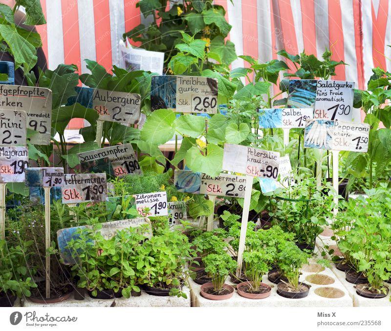 Zarte Triebe grün Pflanze Frühling Schilder & Markierungen viele Kräuter & Gewürze Markt Blumentopf Ware Preisschild Topfpflanze Marktstand Petersilie