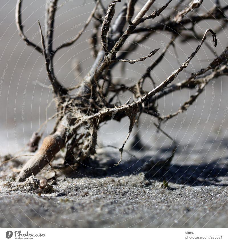 Spiekeroog | Überlebenskünstlerin Pflanze Holz grau Sand außergewöhnlich Sträucher Ast trocken Neigung vertrocknet verdorrt Sandkorn