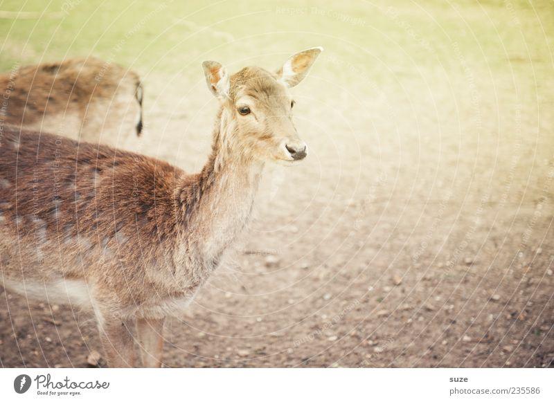 Im Herzen Reh Umwelt Natur Wiese Tier Nutztier Wildtier Tiergesicht 1 hell niedlich braun Vertrauen Neugier Hirschkuh stehen beobachten Fell Wildpark Angst zart