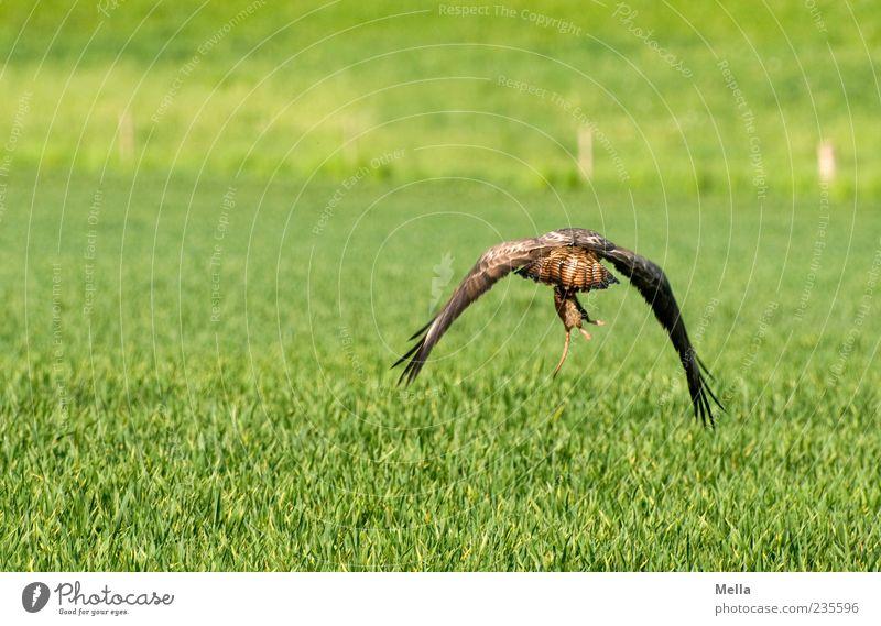 Essen fassen Umwelt Natur Tier Gras Wiese Feld Wildtier Vogel Bussard Mäusebussard 1 fangen fliegen Jagd natürlich grün Jagderfolg gefangen Überlebenskampf