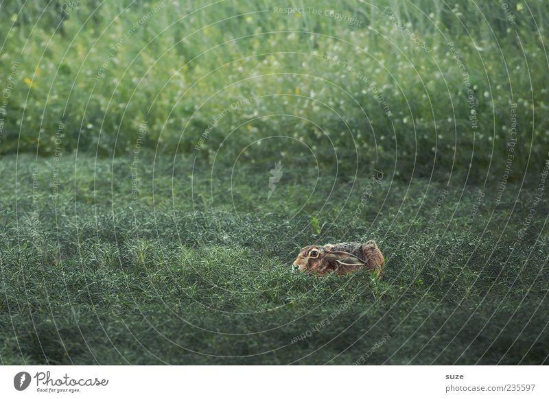Grasgeflüster Natur grün Tier Umwelt Wiese klein Wildtier authentisch niedlich Ostern verstecken Hase & Kaninchen Nagetiere Versteck Tarnung ducken