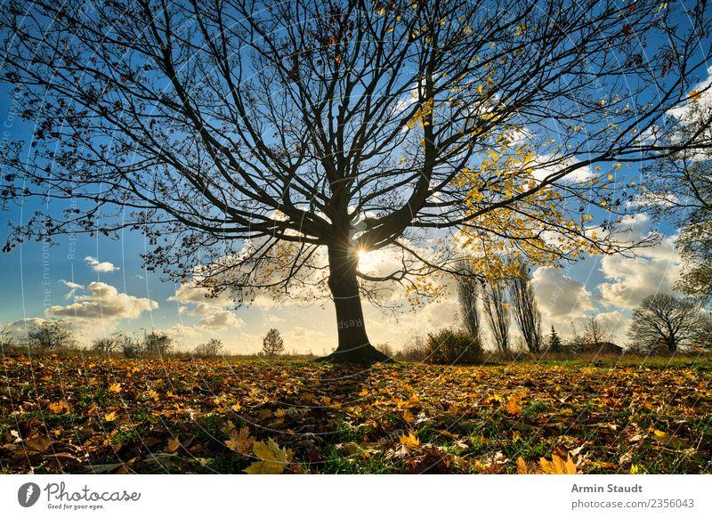 Baum Umwelt Natur Landschaft Himmel Sonne Herbst Winter Klimawandel Schönes Wetter Wind Blatt Ahorn Park Wiese groß positiv trocken blau gelb orange Stimmung