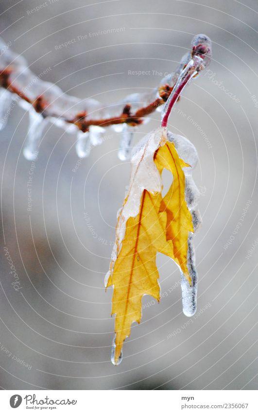 Frozen II Pflanze Baum Blatt Winter gelb kalt Traurigkeit Tod Regen Eis ästhetisch Sträucher Wassertropfen Vergänglichkeit Klima Trauer