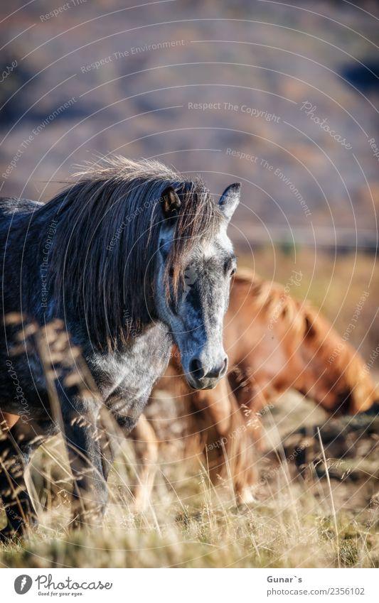 Islands reine Pferd_001 Ferien & Urlaub & Reisen Sommer Landschaft Erholung Tier Ferne Herbst Frühling Tourismus Freiheit Ausflug Freizeit & Hobby Abenteuer