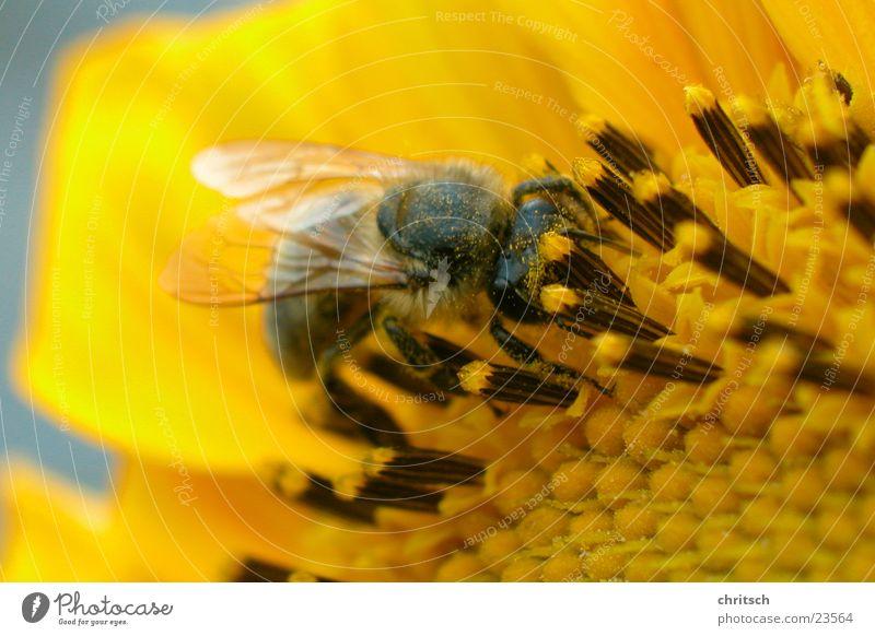 Biene Blume gelb Sonnenblume Pollen Honig
