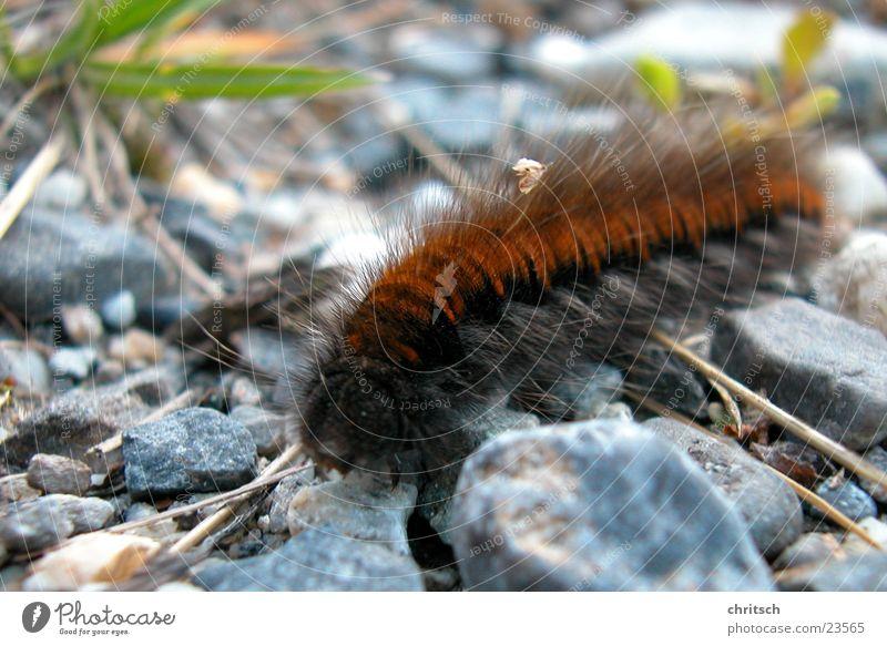 Raupe Schmetterling braun Makroaufnahme Stein Natur