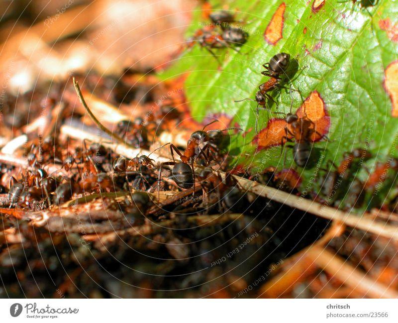 Ameisen Blatt Nest Makroaufnahme
