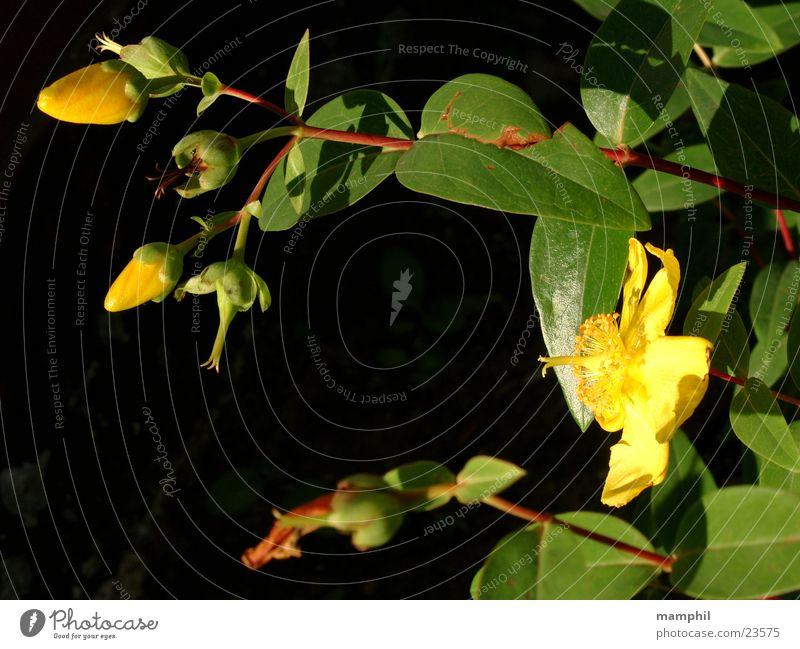 Yellow Flowers Blume grün Blatt gelb Blüte Blütenknospen Beet